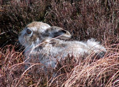 Outrage over mass killing of mountain hares 7