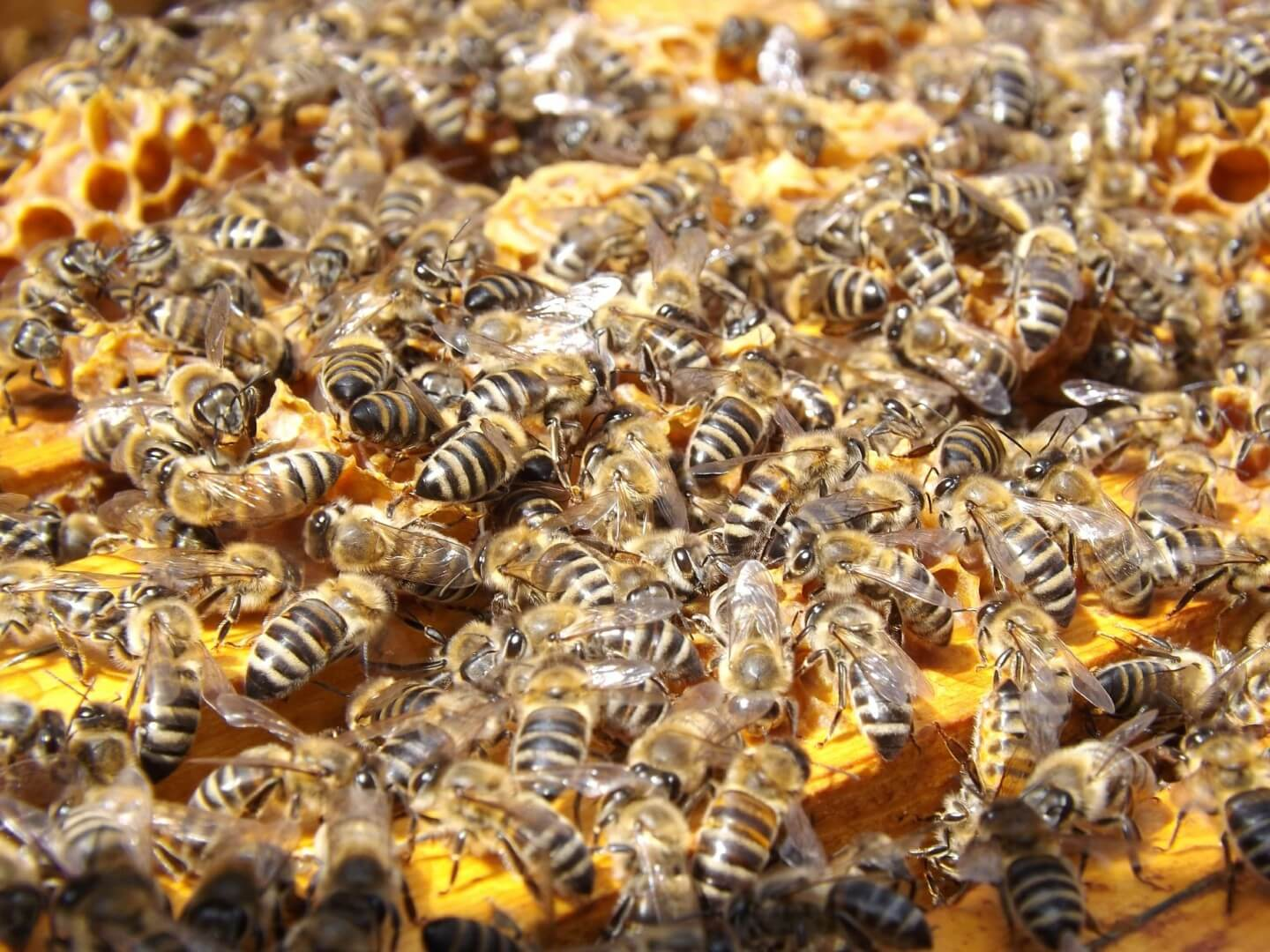 Bees slowly poisoned by pesticides, say scientists 9