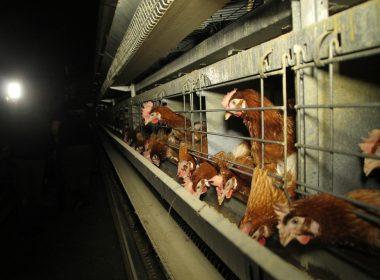 caged hen