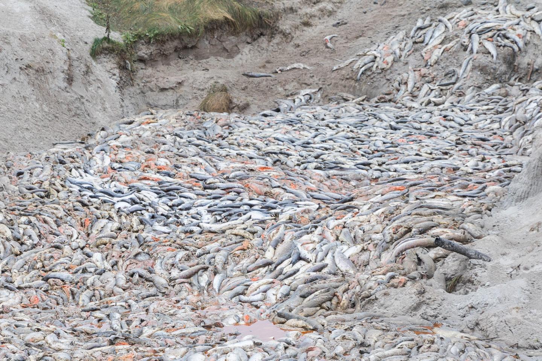 salmon deaths