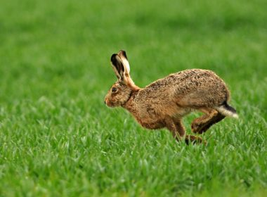 brown hares