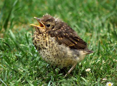 songbird thrush