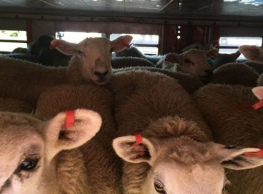 Ferry firm 'breaching own company policy' with live animal exports 10