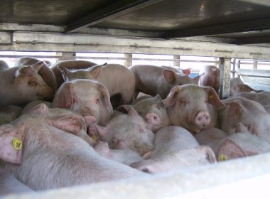 Live export animal transport