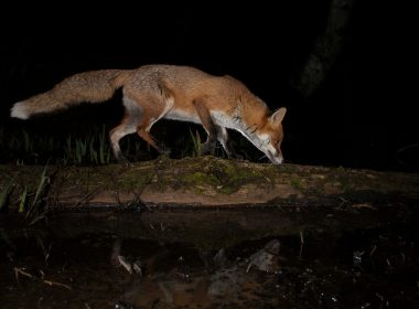 Foxes still chased by hounds and shot in public forests 9